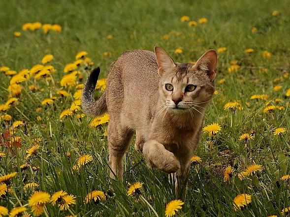 Камышовый кот на поляне