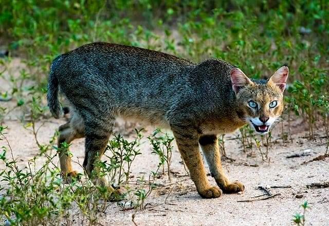 Камышовый кот - главное фото
