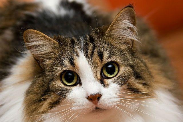 Конъюнктивит у кошек - главное фото