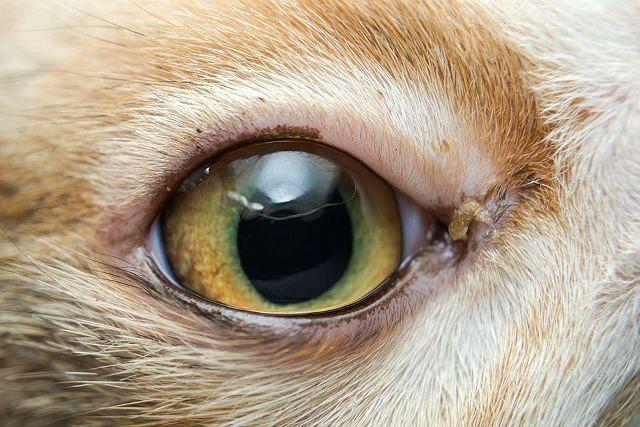 Конъюнктивит у кошек - симптомы