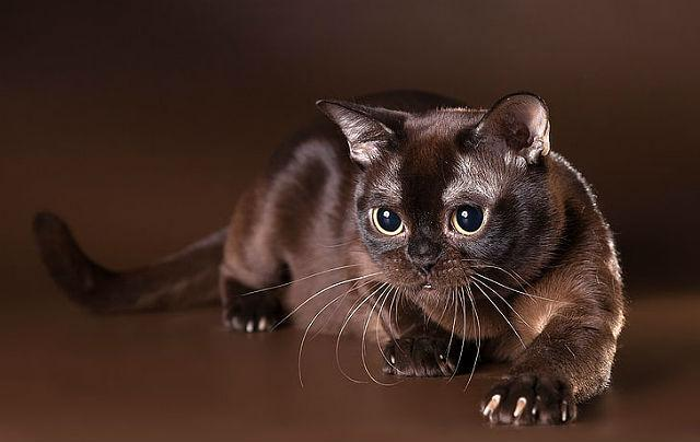 Коричневые и шоколадные коты