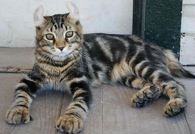 Кошка Хайленд линкс