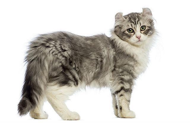 Кошка с круглыми ушами Кинкалоу