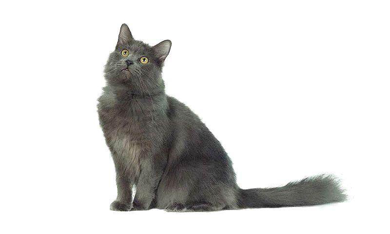 Кошка Нибелунг - главное фото