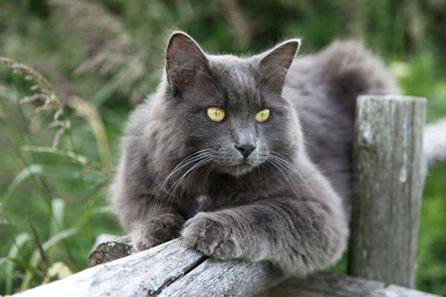 Кошка Нибелунг - красавица