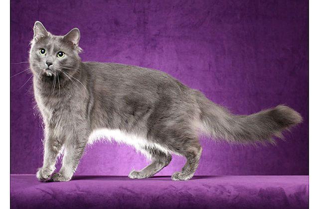 Кошка Нибелунг - внешний вид