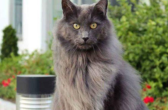 Кошка Нибелунг на фоне зелени