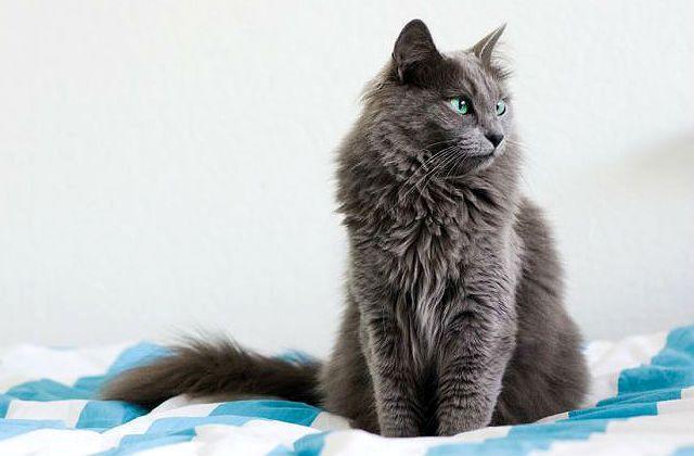 Кошка Нибелунг - вид спереди