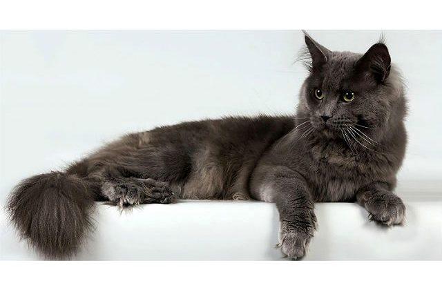 Кошка Нибелунг лежит на боку