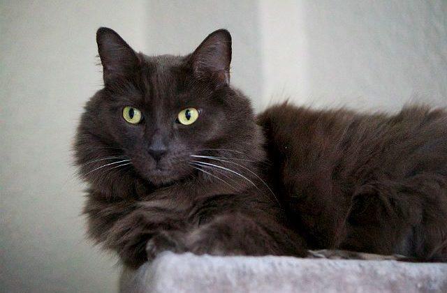 Кошка Нибелунг - глаза