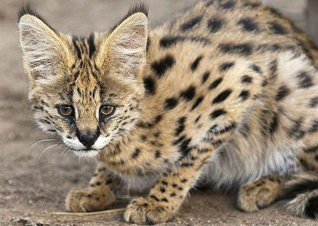Кошка с круглыми ушами сервал