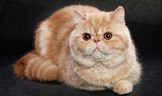 Кошка экзот с приплюснутой мордой