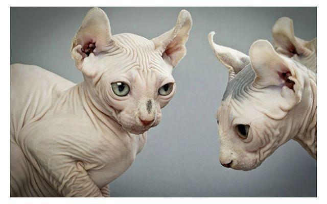 Кошка эльф - морда