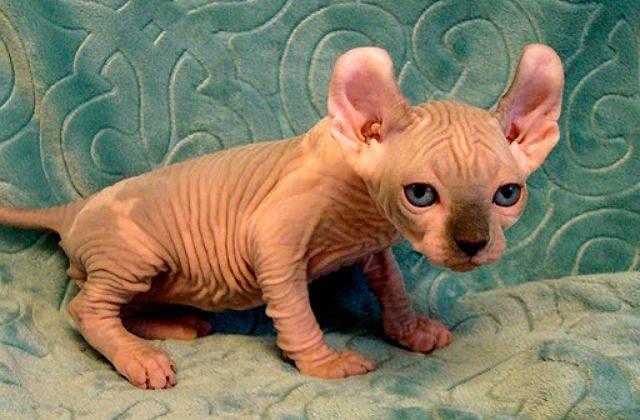 Порода эльф - котенок