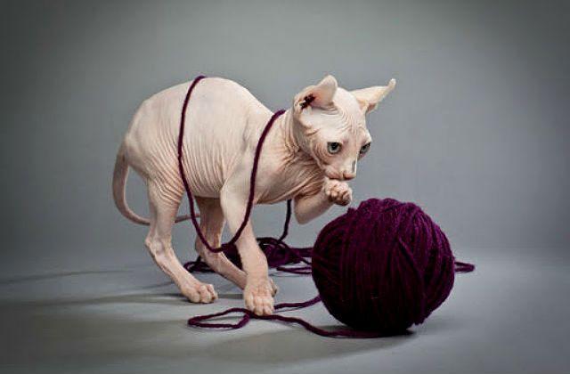 Котенок породы эльф