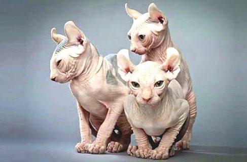 Три кошки породы эльф