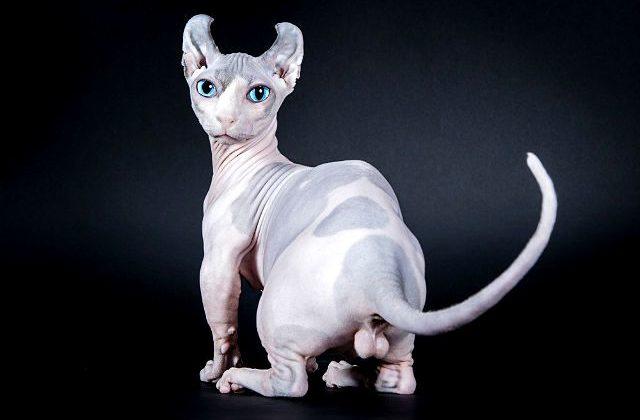 Кошка эльф - вид сзади