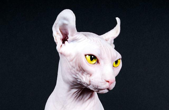 Кошка эльф - голова