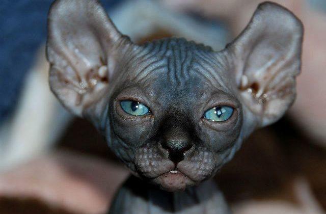 Кошка эльф с голубыми глазами