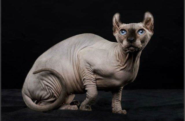 Взрослая кошка эльф