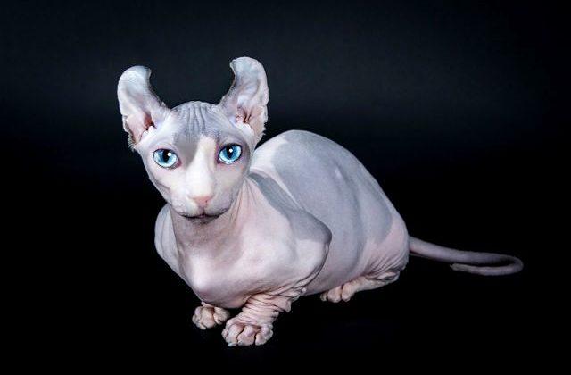Кошка эльф - вид спереди