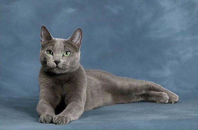 Кошка из рекламы Шеба