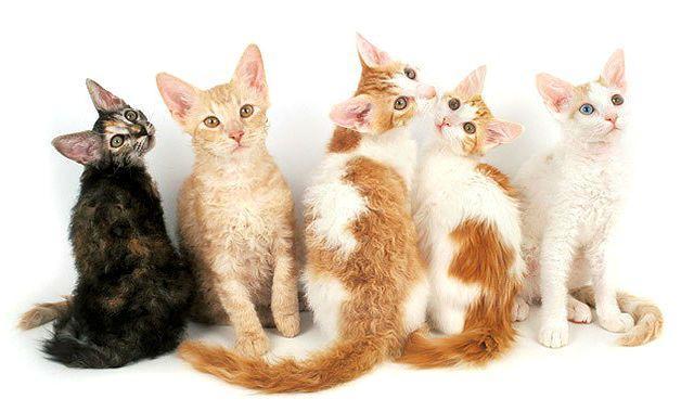 Лаперм - котята
