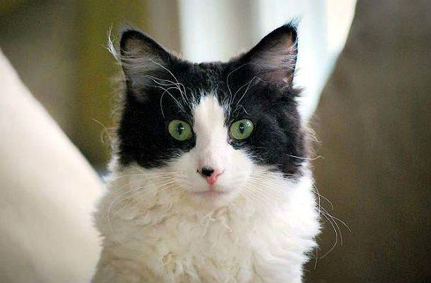 Кошка лаперм - голова