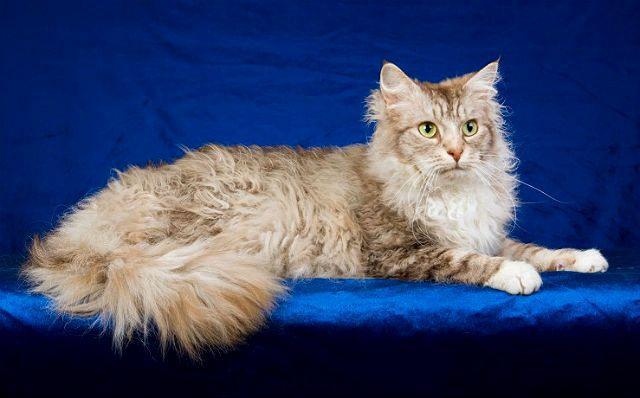 Кошка лаперм - здоровье