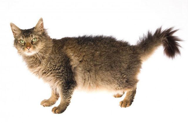 Кошка лаперм - вид сбоку