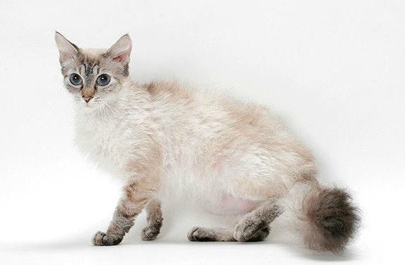 Кошка лаперм с голубыми газами