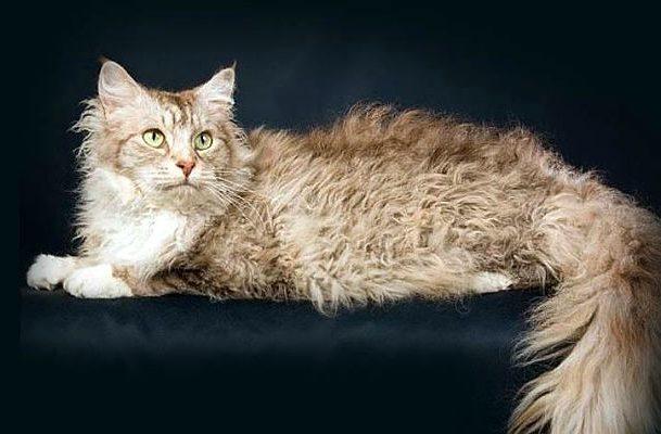 Кошка лаперм с пушистым хвостом