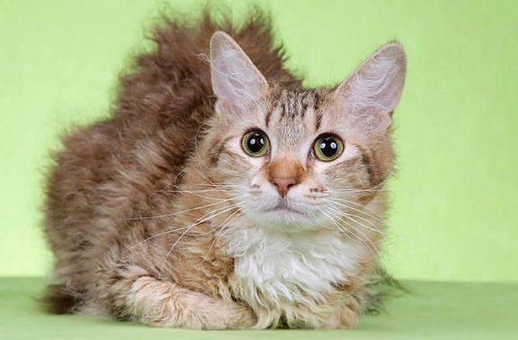 Кошка лаперм - глаза