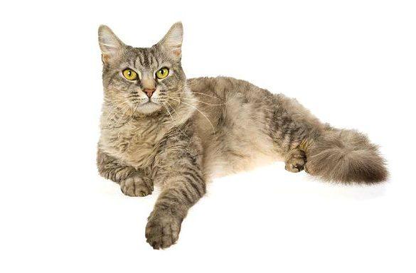 Кошка лаперм лежит