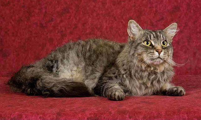 Кошка лаперм - внешний вид