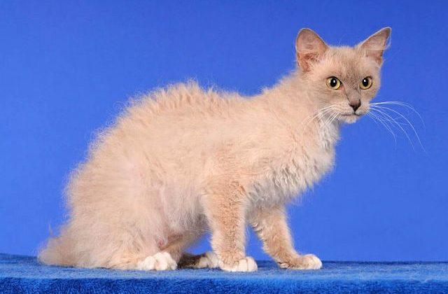 Кошка лаперм светлого окраса