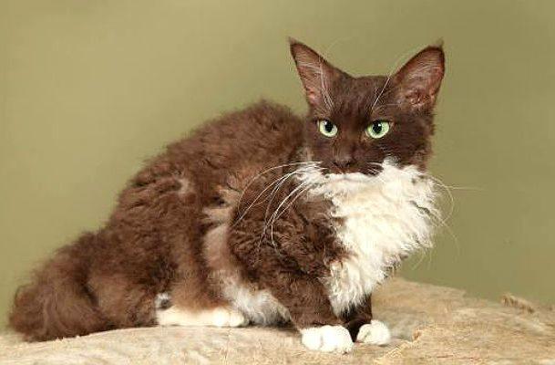 Кошка лаперм коричневая