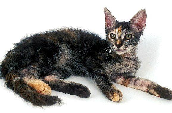 Кошка лаперм трехцветная