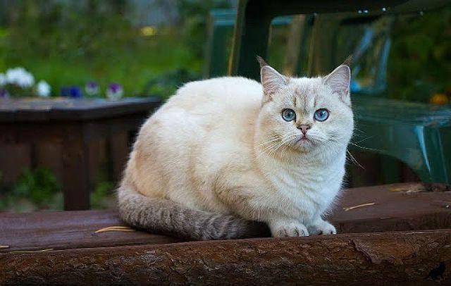 Кошка метис