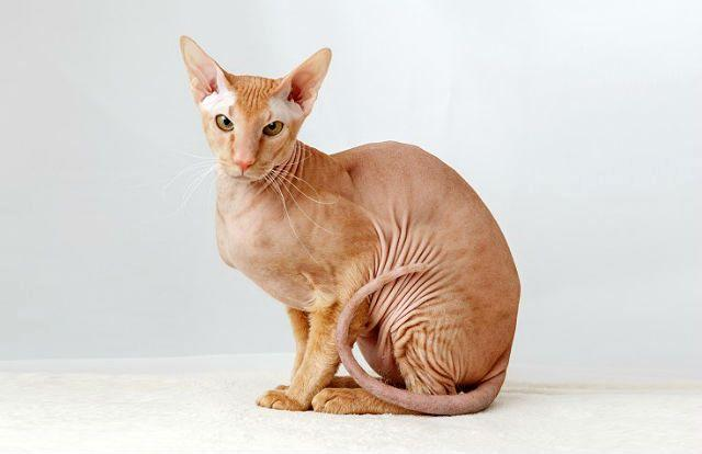 Кошка петерболд - главное фото