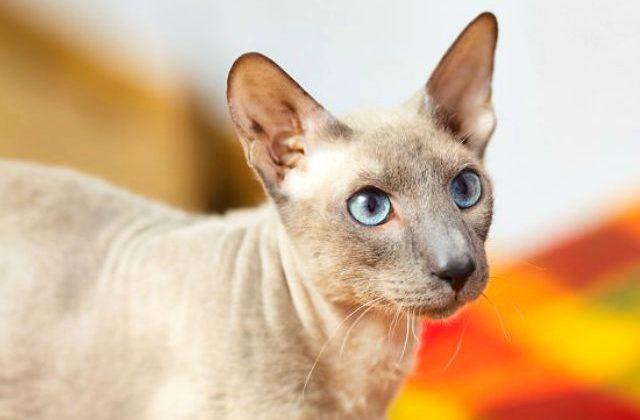 Кошка петерболд - морда