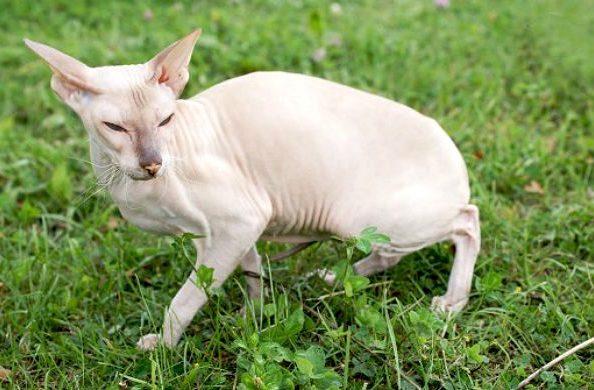 Кошка петерболд белого окраса