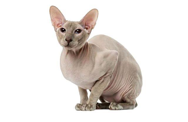 Кошка петерболд сидит