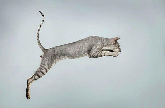 Кошка петерболд в прыжке