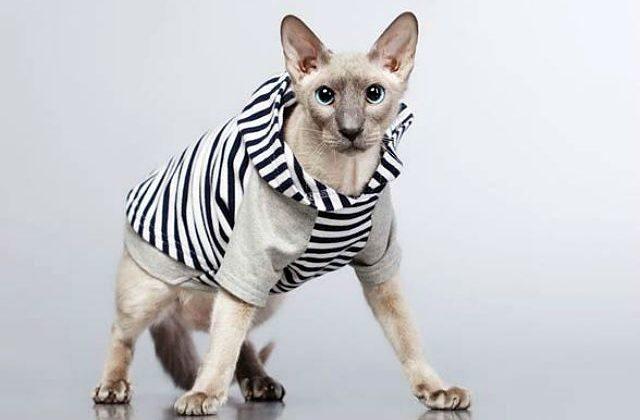 Кошка петерболд в одежде
