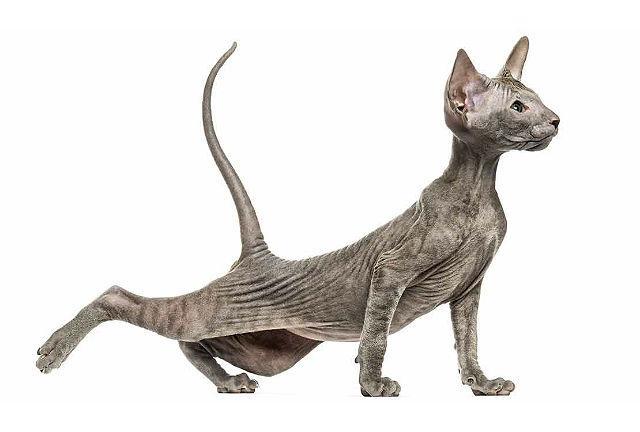 Петерболд котенок