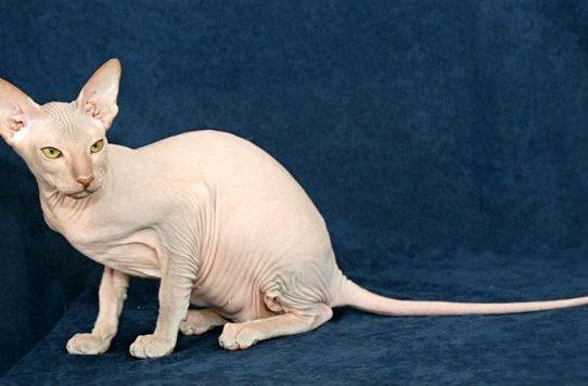 Белая Кошка петерболд