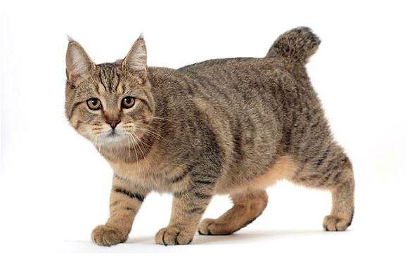 Кошка породы пикси-боб