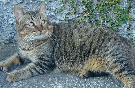 Кошка пикси-боб лежит