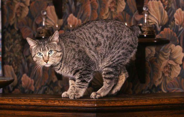 Кот пикси-боб